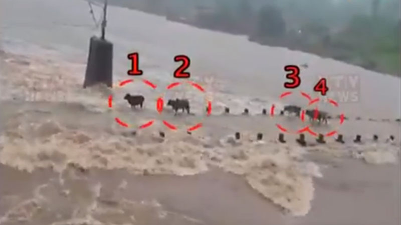 cattles in drawn river