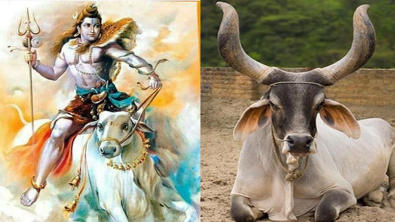 God Shiva Ride on Gujarat's kankarej Cow Bull