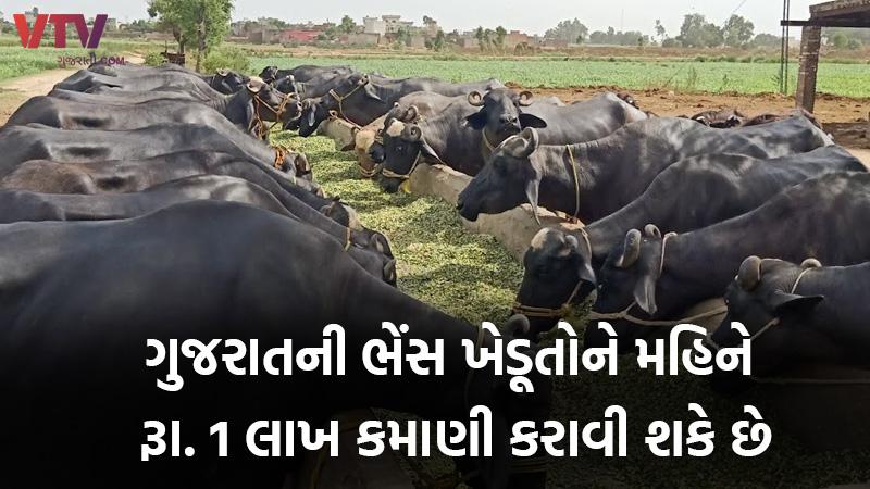 dairy farm income buffalo price and breed in Gujarat
