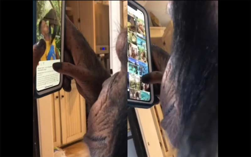 This Video Of A Chimpanzee Scrolling Through Instagram Like A Pro Has Divided The Internet