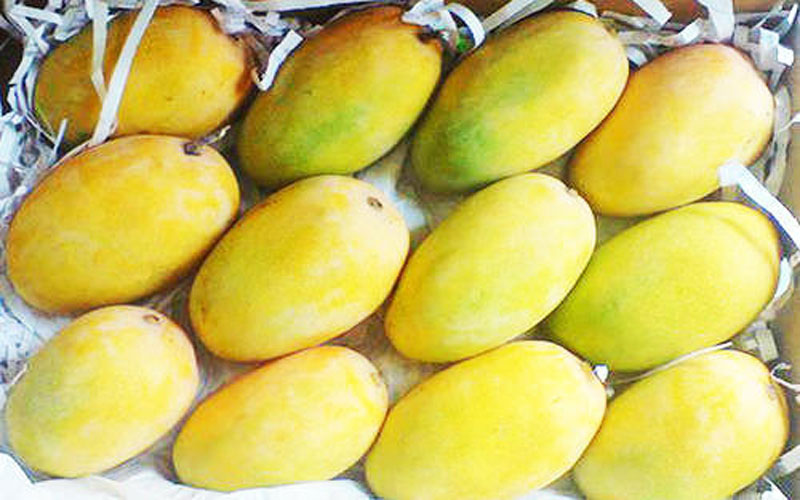 Kesar Mango will be expensive due to damage caused by rainforest