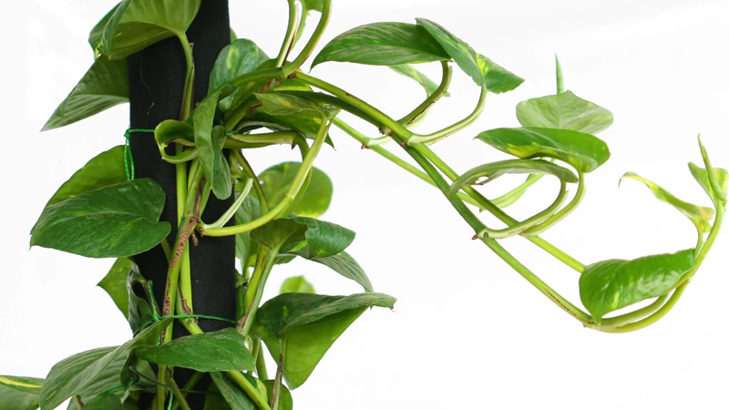 best direction to keep money plant in house