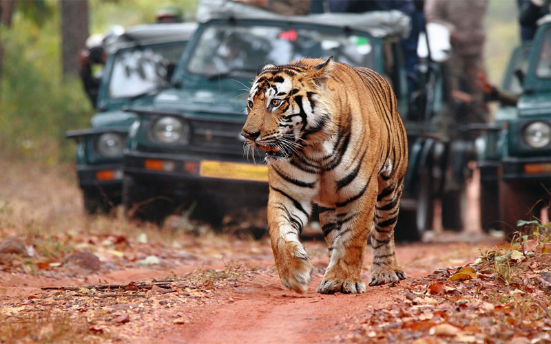 Tourist and guide fined rs.51 thousand rupees for pelting stone at sleeping tiger in Jaipur