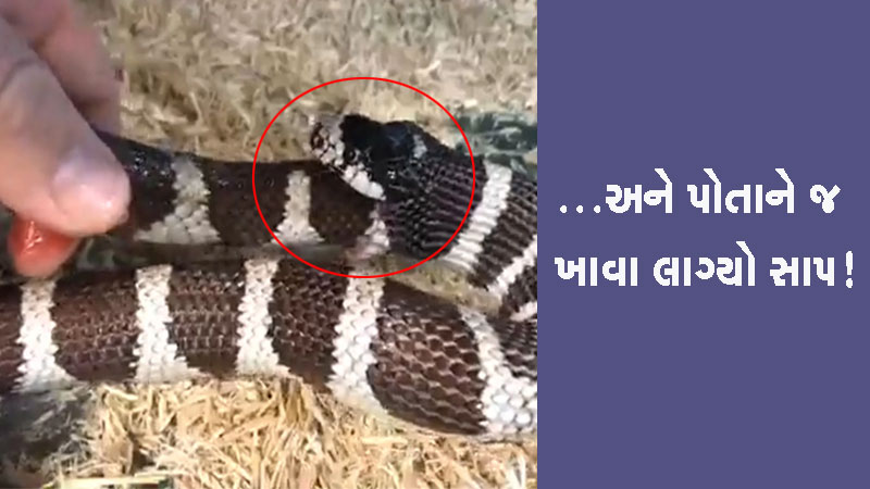 Hungry snake eaten half his body video viral
