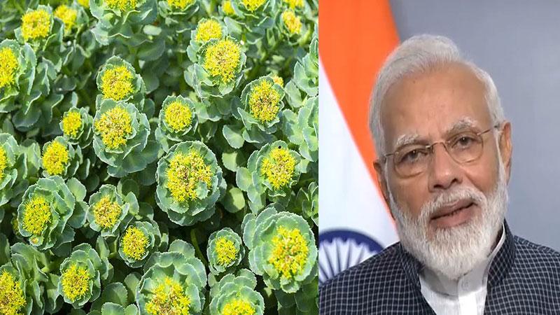 PM Modi mentioned Leh-Ladakh Herb Solo Rhodiola is sanjeevani plant of time Ramayana