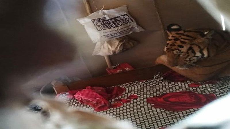 નેશનલ પાર્કમાં પાણી ભરાતા, વાઘ ઘરમાં ઘૂસીને ફરમાવી રહ્યો હતો આરામ