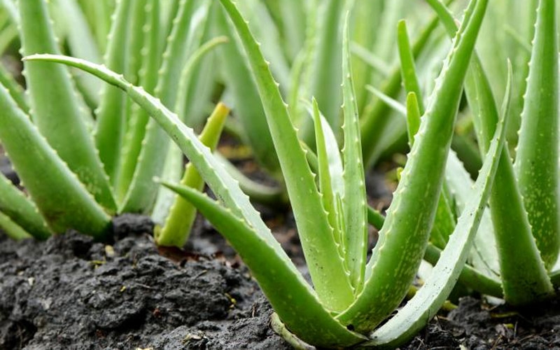 tips-to-start-aloe-vera-cultivation
