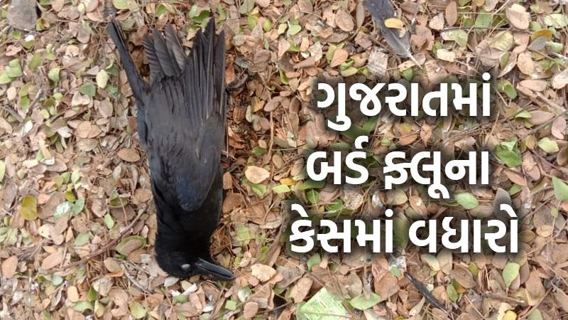 Two cases bird flu positive reported Bardoli Surat