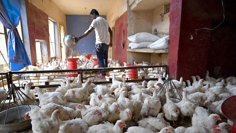 bird flu news maharashtra parbhani poultry farm 800 chickens died due to bird flu