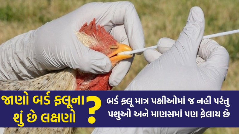 bird flu no spred in gujarat h5n1 virus symptoms