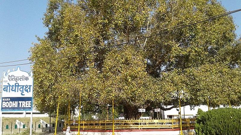 VIP Tree Bodhi Tree In Madhya Pradesh