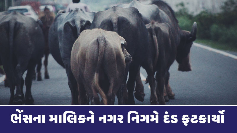 Buffalo dung on the newly built road, see how much the owner was fined