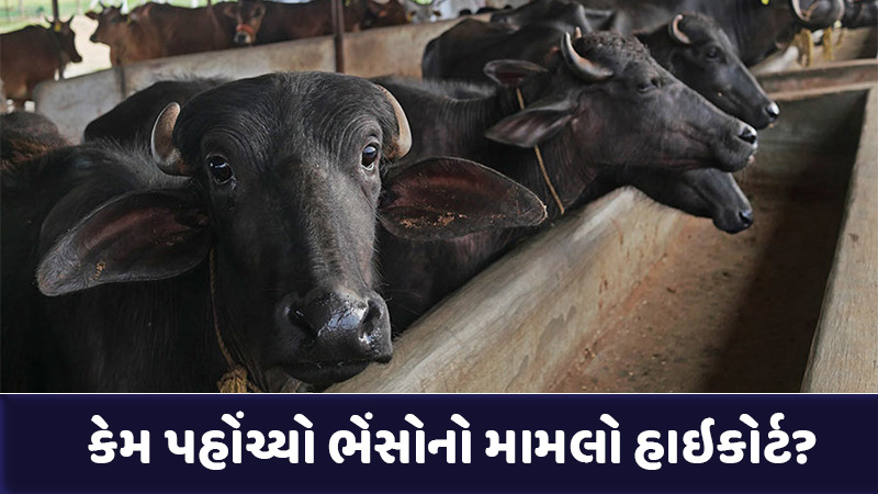 gujarat high court for release of three buffaloes court orders