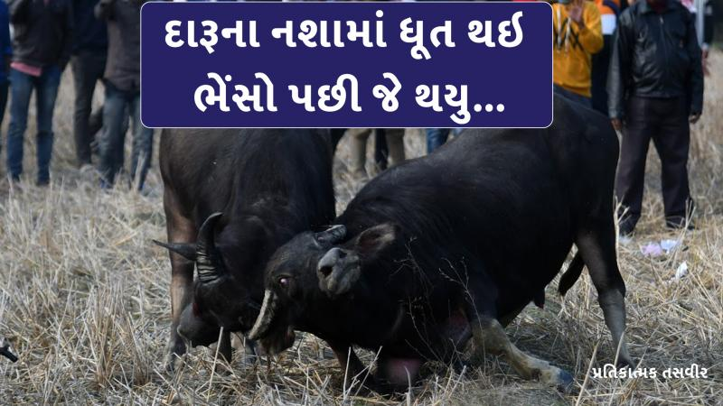The buffaloes drank alcohol in gujarat