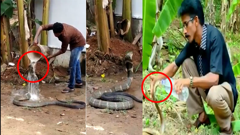 Viral videos of men bathing and feeding cobra snakes water