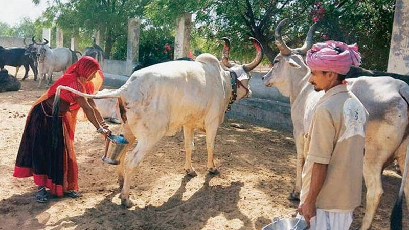 milk vendor is making more money by selling cow dung and urine than milk 500 rs