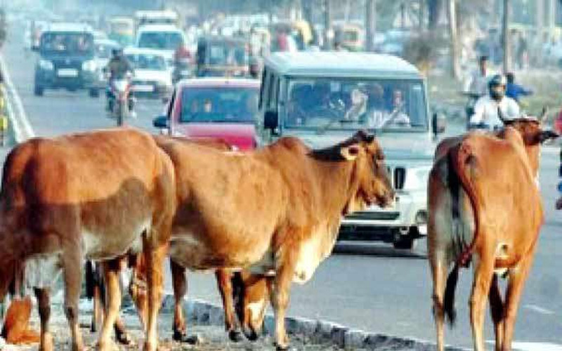 cow killed an old man complaint filed against shepherd