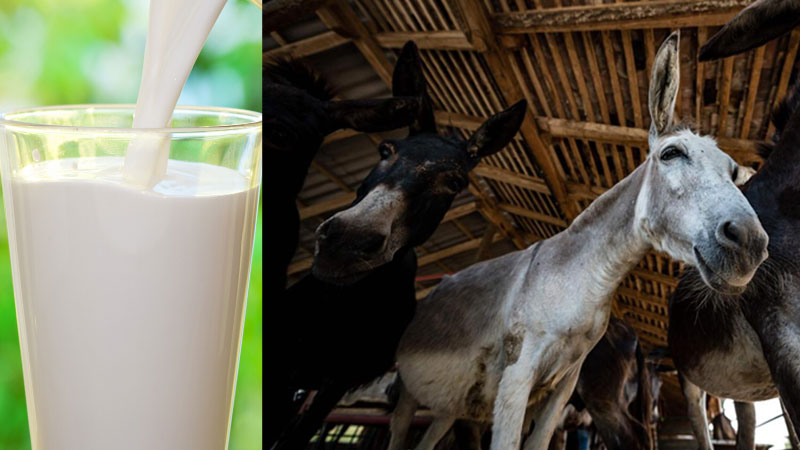 national dairy of donkey milk will start for the first time in the country the price of rs 7000 a liter these are the...