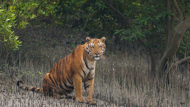 tiger attacked villagers in uttar pradesh