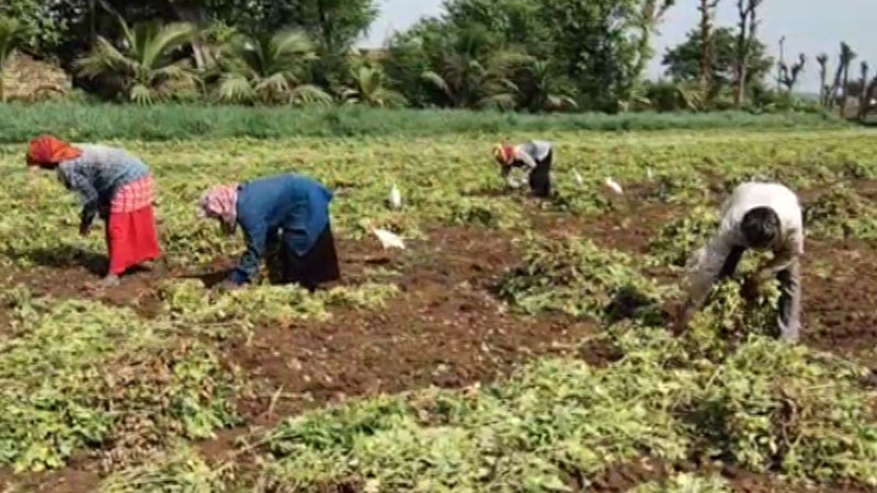 Fear is plaguing farmers in the wake of the hurricane in Gir Somnath