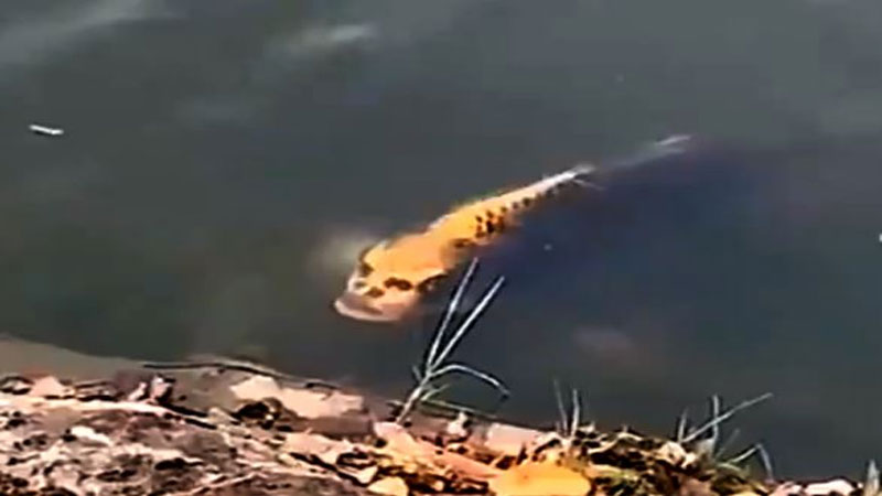 Fish with human face spotted swimming in a lake seen in China