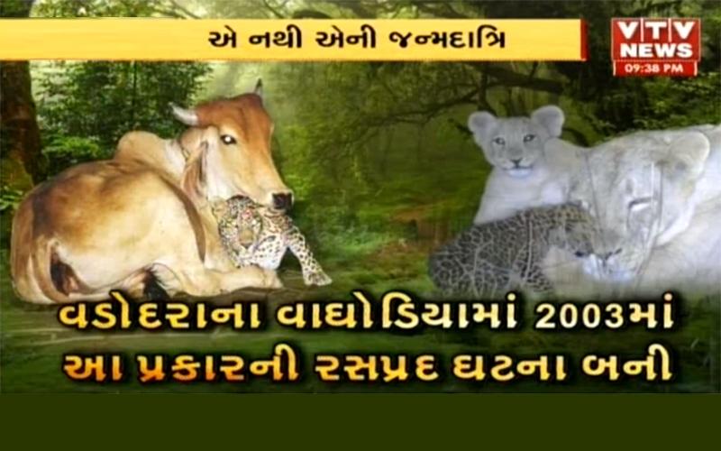 wonderful-friendship-between-cow-and-leopard-in-vadodara