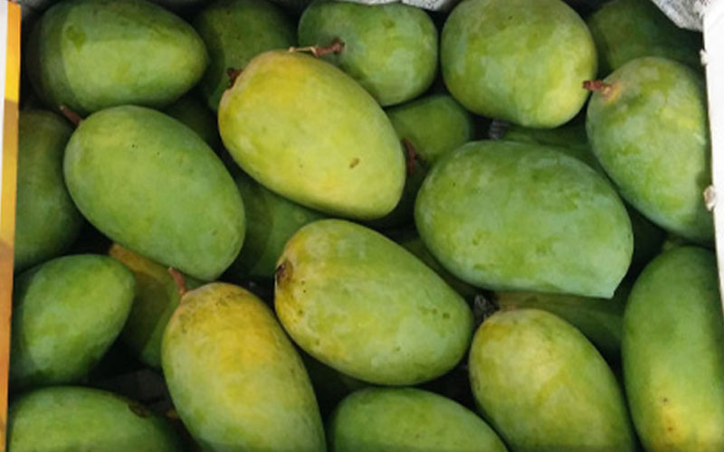 Vayu cyclone cause severe damage to kesar mango crop