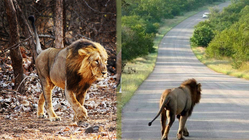 Gir lions spread their territory enters Rajkot district