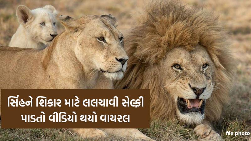 junagadh gir gadhada somnath lion hunting video goen viral