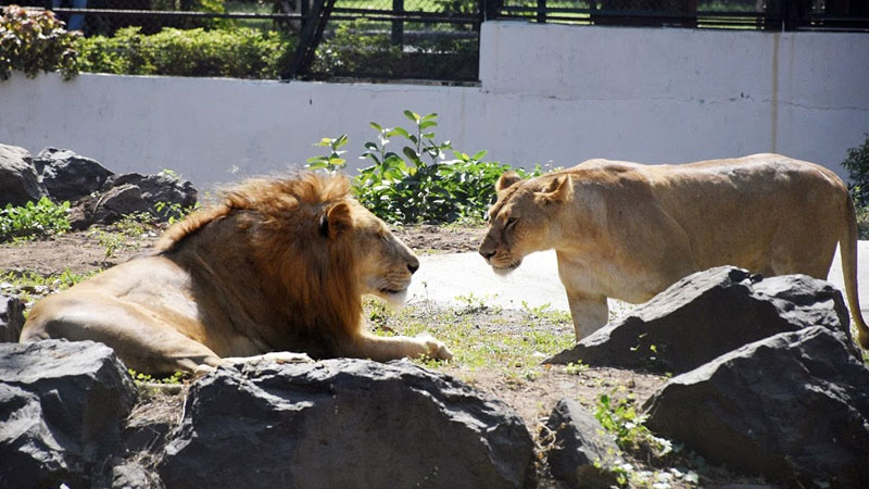 Eight Asiatic Lions in Hyderabad zoo test COVID-19 positive; samples examined by CCMB