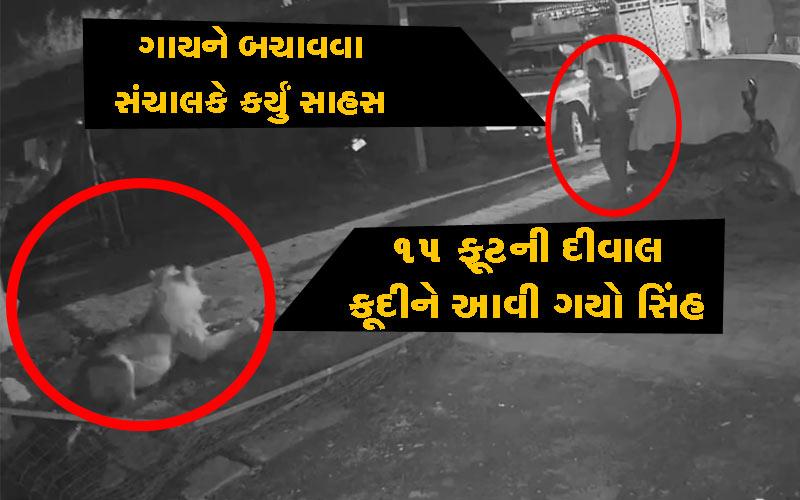 Gaushala gir lion mota barman khambha gujarat cctv footage