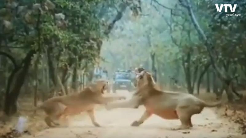 Wildlife photographer captures Lions fun video Junagadh