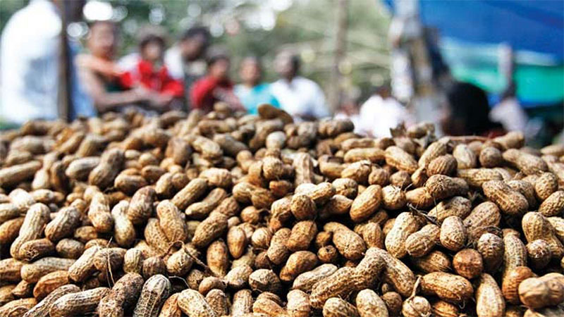 Gujarat farmers Good news Peanuts support prices