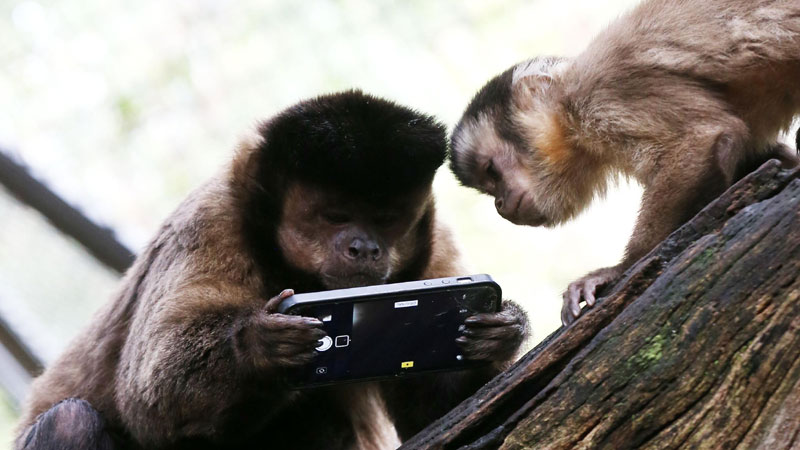 Monkey does online shopping after zookeeper forgets phone in office