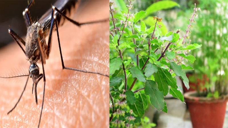 These plants will get rid of mosquitoes and other insects