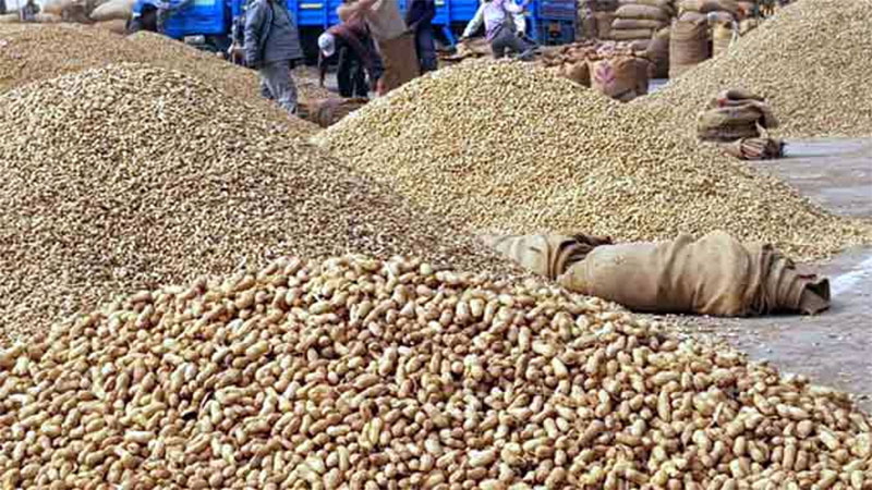 gujarat government announced purchase peanuts online registration start today