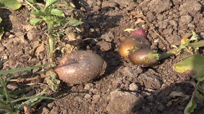 Aravalli district  Insects in potato crops