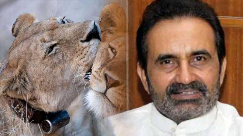 Gir lion redio coller congress leader shaktisinh gohil rajay sabha foreset department