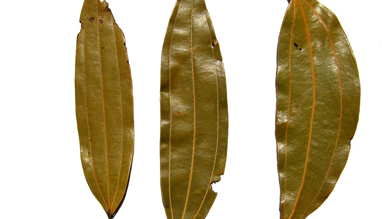 Benefits  Cinnamomum tamala