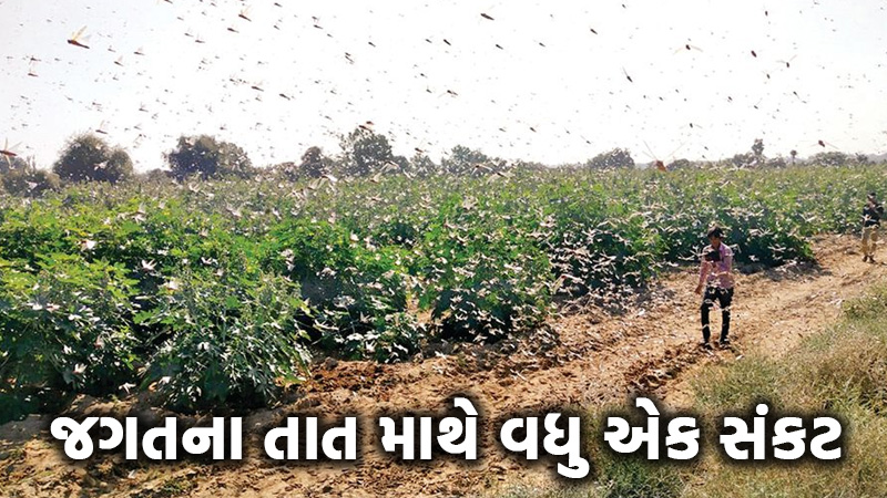 locust infiltrated bhavnagar jamnagar district farmer gujarat