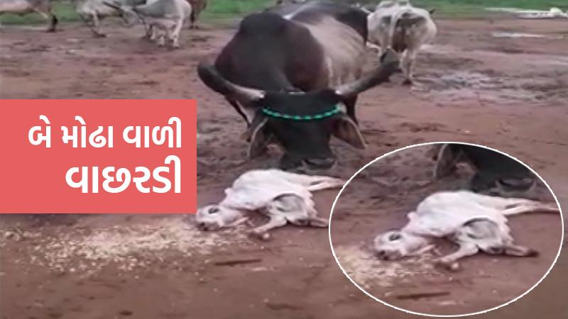 Two faced calf birth cow Dhanpur vijapur mehsana