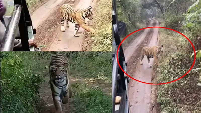 Tigress charges at tourist vehicle at Ranthambore national park