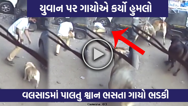 cows attack on dog and owner at vegetable market in valsad