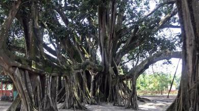 તમે માનશો નહીં, અહીં 207 વર્ષ જૂના એક વૃક્ષને બચાવવા ગ્રામજનો ઉજવે છે બર્થ-ડે