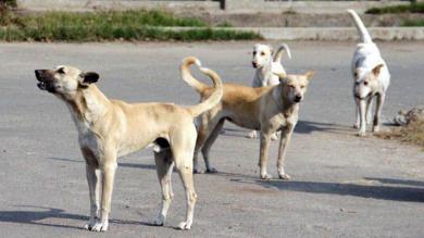 રસ્તા પર રખડતાં કૂતરાંઓથી શહેરીજનોને ત્રાસ, તંત્ર દ્વારા હાથ ધરાશે સર્વે