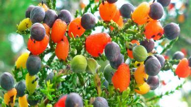 આ વૃક્ષ પર એક નહીં, બે નહીં પણ ઉગે છે 40 જાતનાં ફળ, કિંમત સાંભળીને ચોંકી ઉઠશો