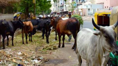 SRP બંદોબસ્ત બાદ મ્યુનિસિપલની ટીમે આજે ૧૦ ગાયો પકડી, રોજ 100નો ટાર્ગેટ